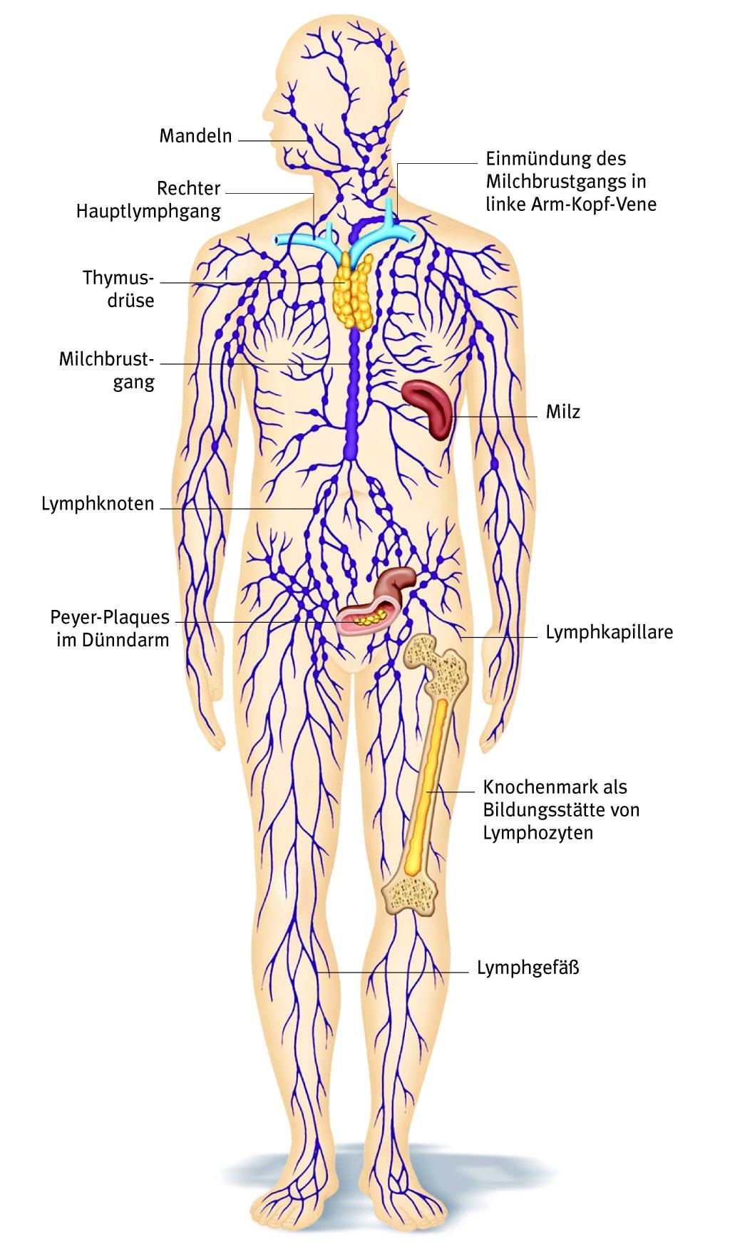 Fantastisch Anatomie Der Halslymphknoten Bilder - Anatomie Ideen ...